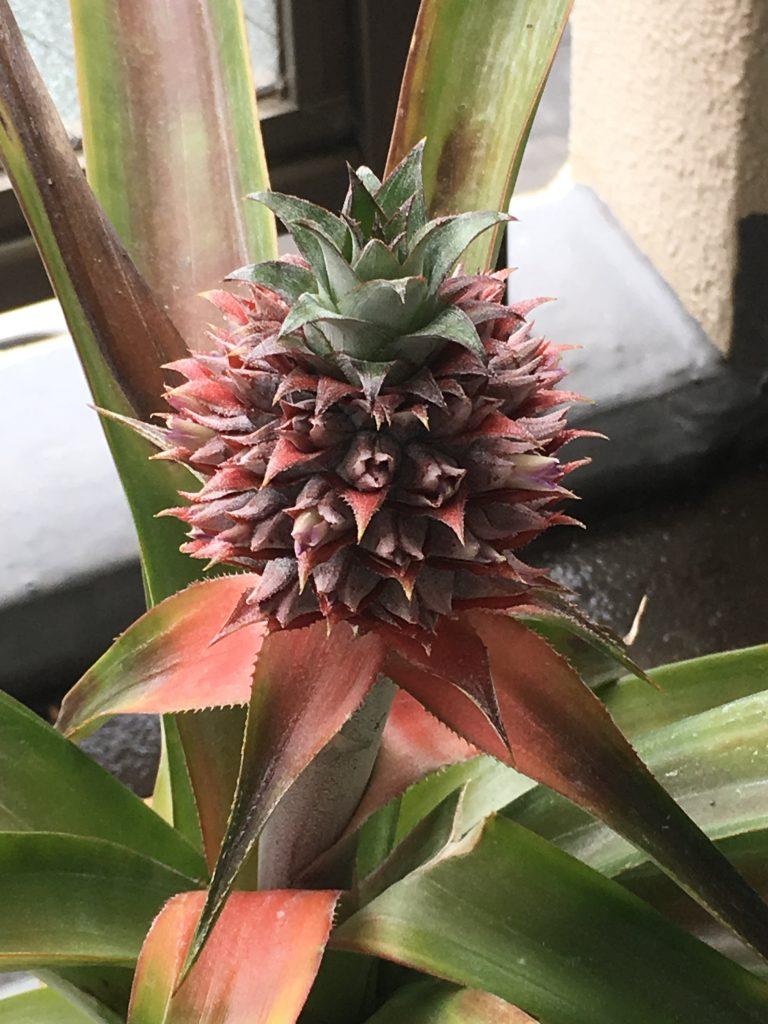 5月のパイナップル